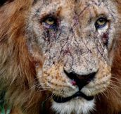 Lion's Battle Scars