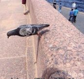 Defying Gravity Pigeon