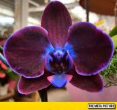 Majestic Orchid
