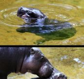 This Baby Hippo Makes Me Happy