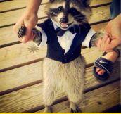 Raccoon In A Tuxedo