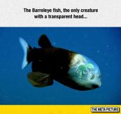 The Barreleye Fish