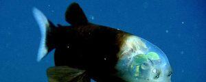 The Barreleye Fish