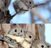 Japanese Flying Squirrels Are Adorable