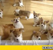 Just A Flock Of Corgis