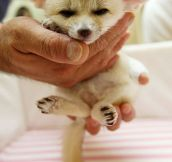 Tiny Baby Fennec Fox