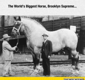 World's Biggest Horse