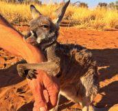 Kangaroo Property