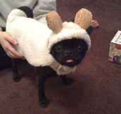 Sheep Pug