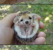 I Need This Baby Hedgehog In My Life
