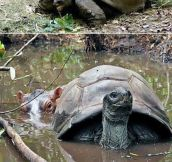 Baby Hippo And 130 Year Old Tortoise Become Friends