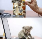 Tiny Baby Koala Rescued After Getting Lost