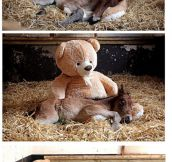 Orphaned Pony's Best Friend Is A Teddy Bear