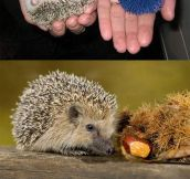 Hedgehogs Next To Things That Look Like Hedgehogs