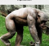 Shaved Chimp