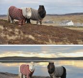 Two Ponies Wearing Cardigans