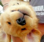 Bad Day? Here's An Upside Down Golden Retriever Puppy