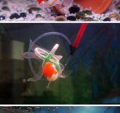 Einstein The Lucky Goldfish