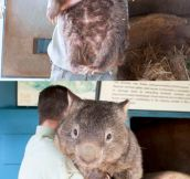 Also The Biggest Wombat On Earth
