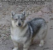 Wolf + Corgi = This Awesome Creature