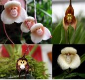 Just In Case You've Never Seen Monkey Orchids Before…