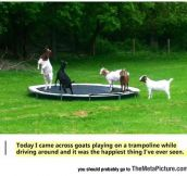 Goats Having Fun On A Trampoline
