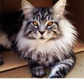 Maine Coon Cat: The Prettiest Feline You'll See Today