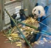 This Panda Is So Chill