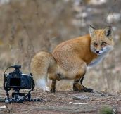 Fox Stopping For A Picture
