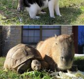 It Think The Internet Needs More Capybaras