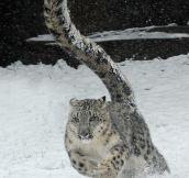 Snow Leopard Magnificence