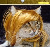 Kitties Wearing Wigs