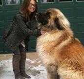 Gigantic Canine
