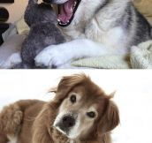 Huskies Know The Best Jokes