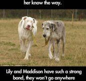 Great Dane And Her Guide Dog
