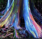 Rainbow Eucalyptus Trees In Hawaii