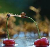 Two Snails Kissing On Top Of Cherries
