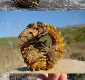 The Armadillo Girdled Lizard