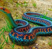 The Most Colorful Snake In The World: California Red Sided Garter Snake