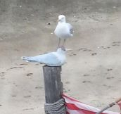 Seagull Meets Seagull