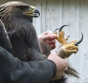Eagles Have Really Large Talons