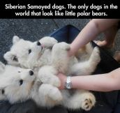 Tiny Polar Bears