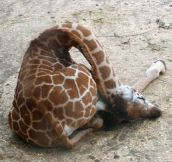 How Baby Giraffes Sleep