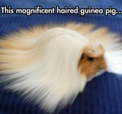 He's The Fabio Of Guinea Pigs