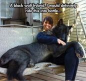 Beautiful Black Wolf Hybrid