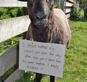 Sheep Shaming