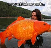 Giant Orange Koi Carp