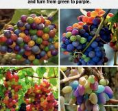 Rare Rainbow Grapes