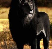 Black Lion Looks Majestic