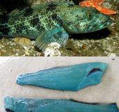 Ever Seen Blue Flesh Before?